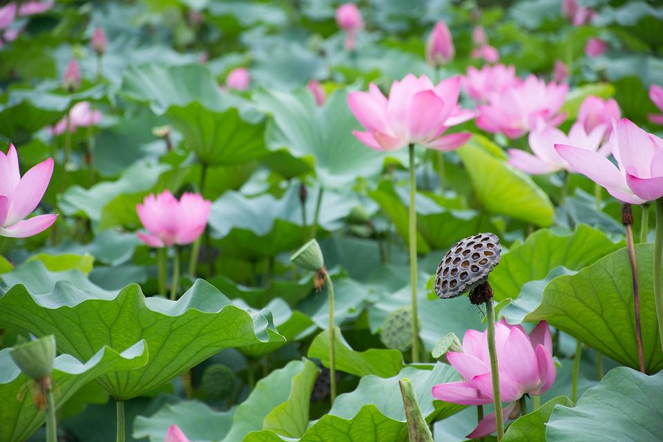 Free photo lotus leaf the scenery pond lotus lotus root max pixel lotus lotus leaf lotus root pond the scenery mightylinksfo