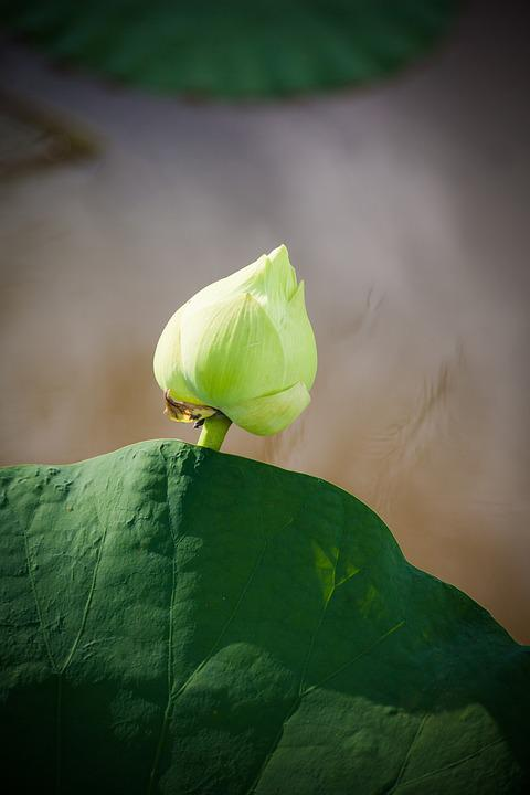 Free photo lotus leaf vietnam lotus flower vietnamese max pixel lotus vietnam lotus leaf flower vietnamese mightylinksfo