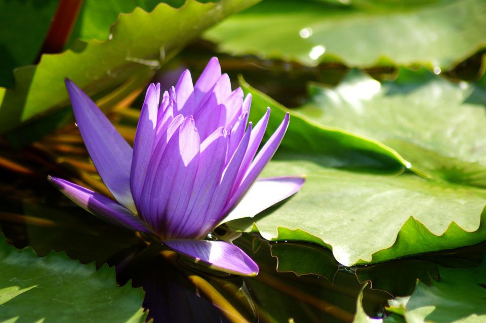 Water Lily, Flower, Nymphaea, Lotus, Lotus Blossom
