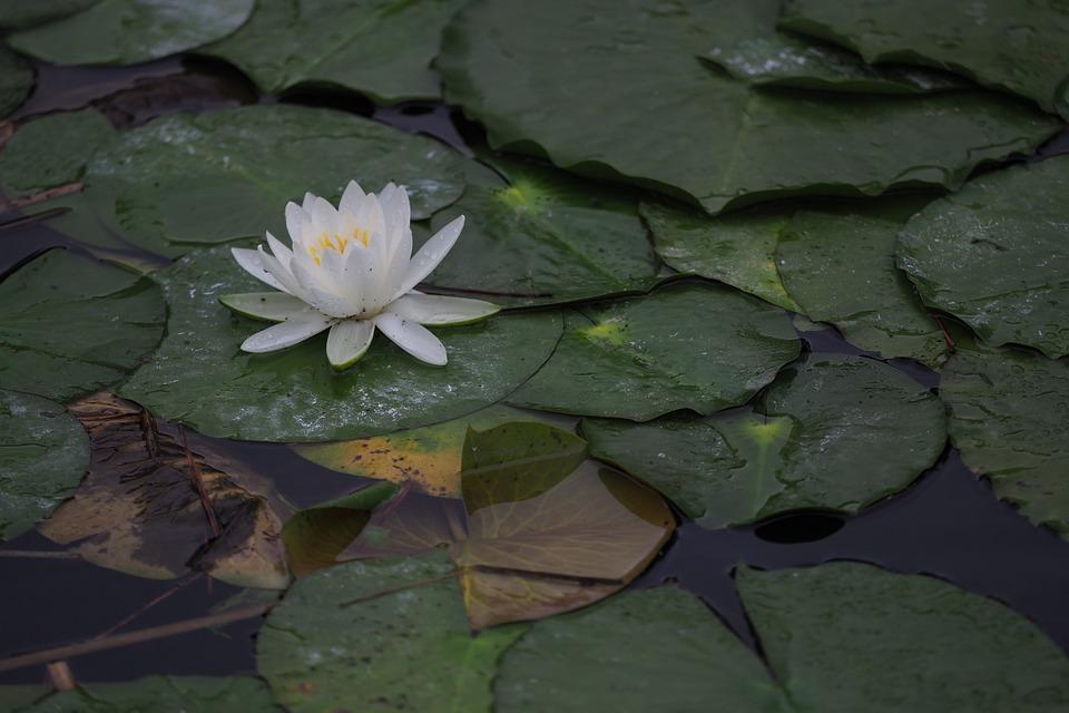 Lotus, Pond, Nature