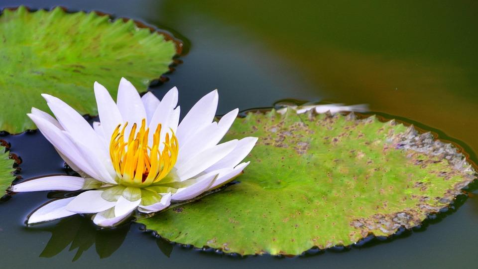 White, Lotus, Lily, Yellow, Orange, Blooming, Nature