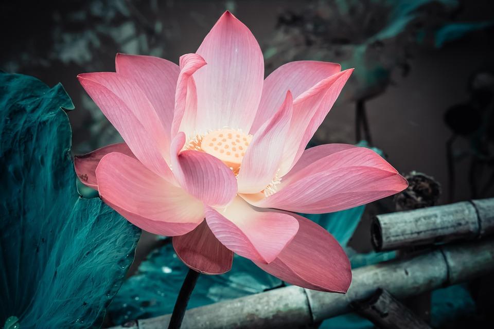 Flowers, Lotus, Nature, Pink, Pond, Peace, Meditation