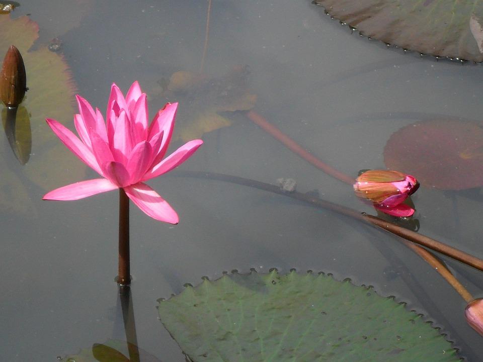 Lotus, Flower, Pink
