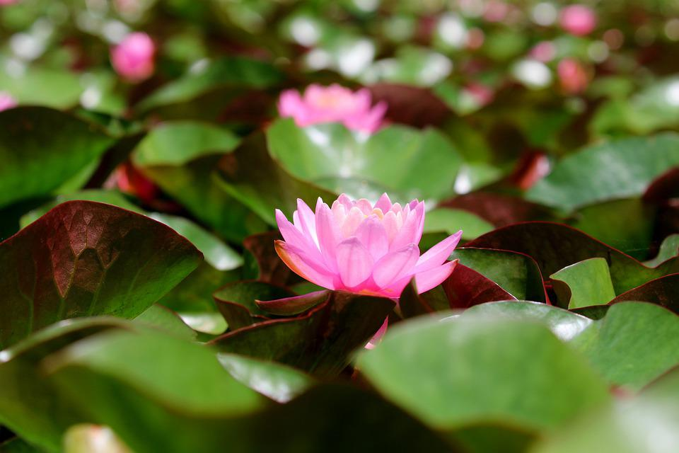 Lotus, Flower, Plant, Petals, Pink Flower, Water Lily