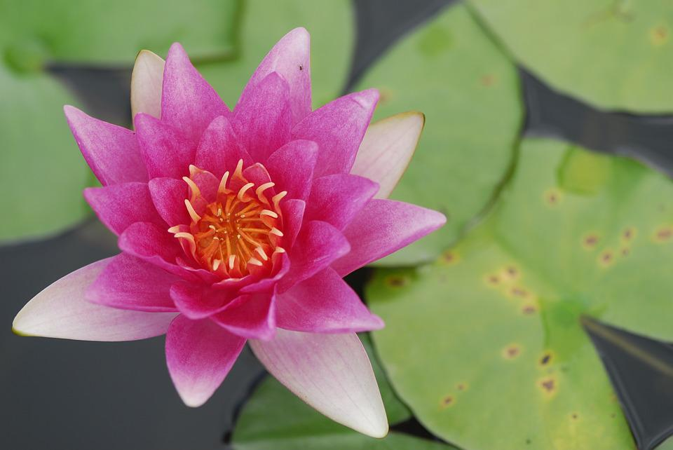 Flower, Lotus, Puddle, Lily, Plant, Water Lily