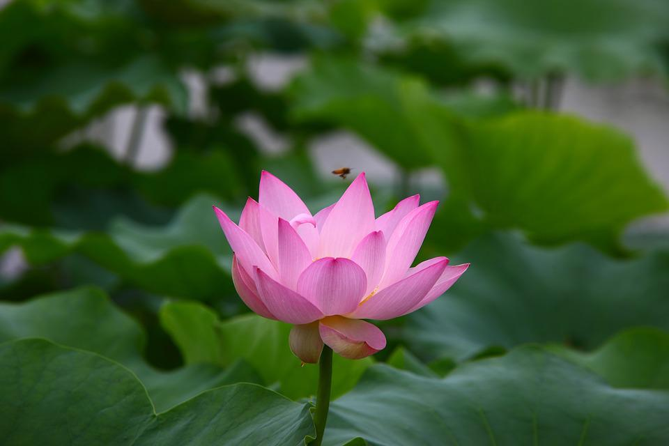 Leaf, Plants, Lotus, Nature, Flowers, Aquatic, Summer