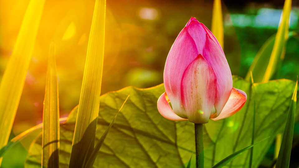 Lotus, Flower, B, Pink, Pond, Blossom, Nature, Bloom