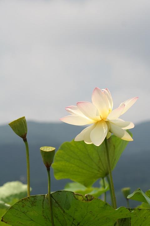 Free Photo Lotus Root Plant Pond Water White Flowers Lotus Max Pixel