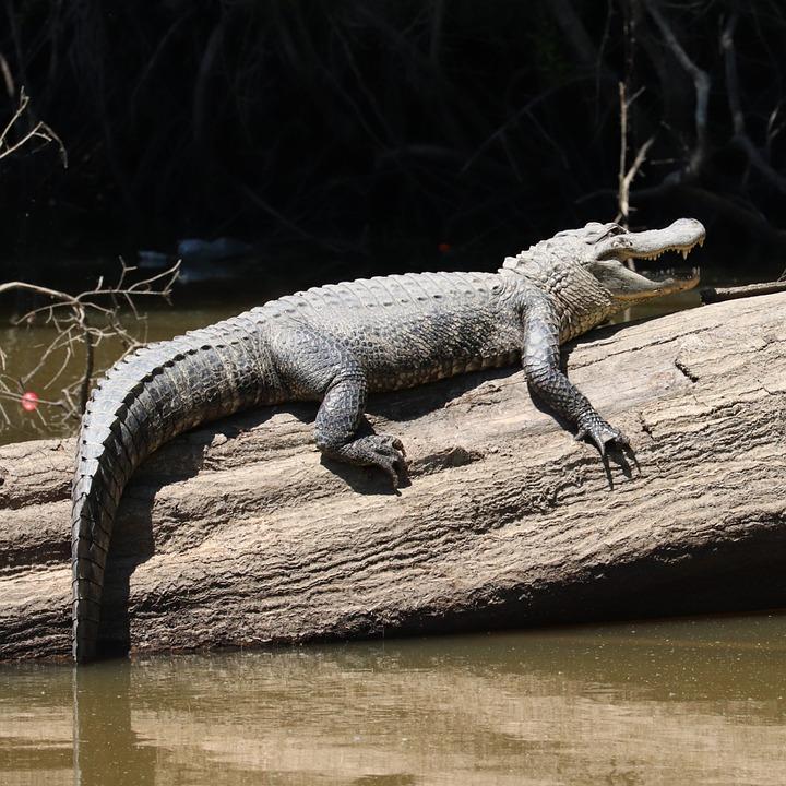 Gator, Alligator, Wild, Swamp, Predator, Louisiana