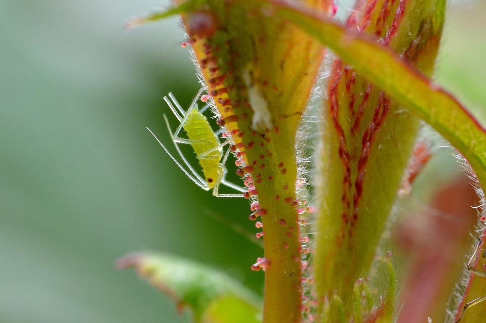Large Rose Aphid, Louse, Aphid, Animal, Insect, Nature