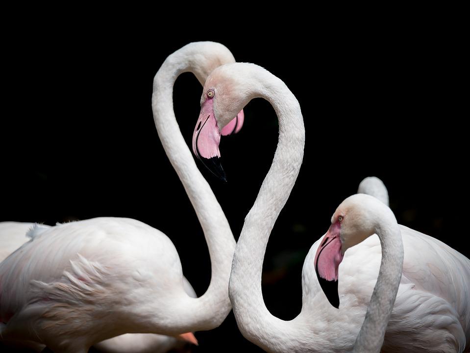 Flamingo, Bird, Love, Animal, Pink, Animal World