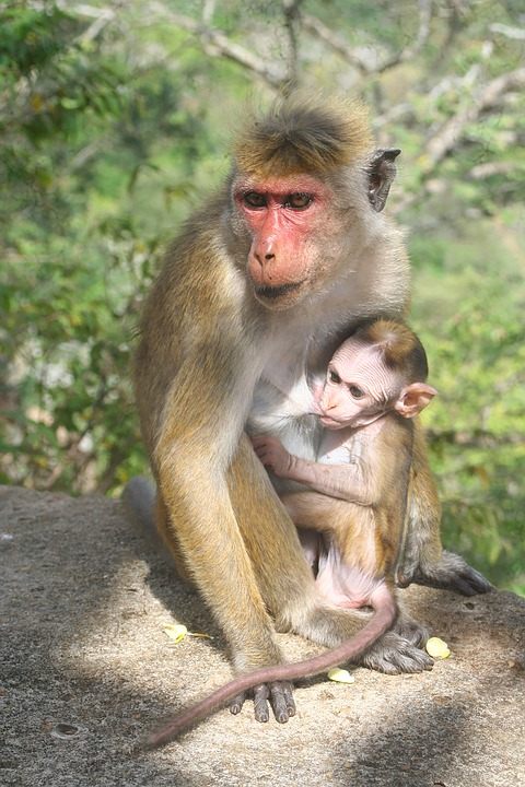 Monkey, Mom, Mother, Baby, Love, Child, Nature, Animal