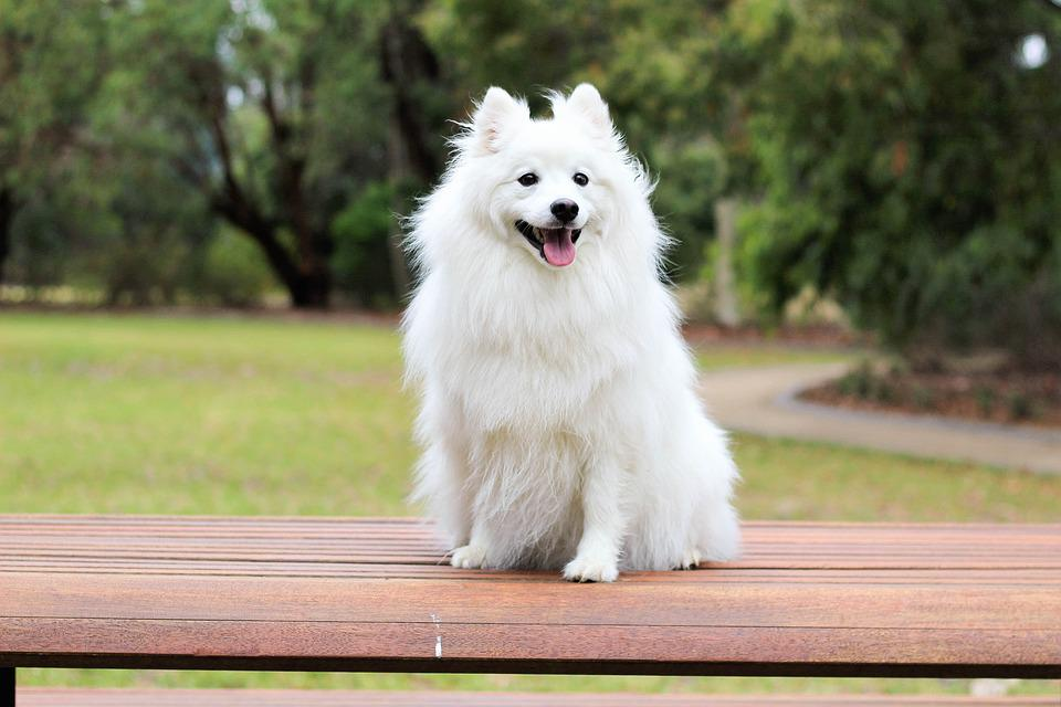 Free Photo Love Baby White Dog Cream Spitz Cute Puppy Max Pixel