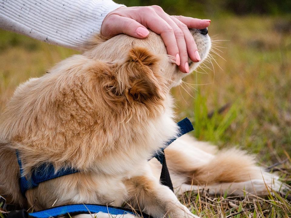 Dog, Gold, Animal, Pet, Love, Beautiful, Adorable