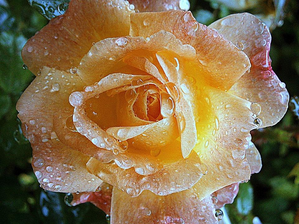 Rose, Roses, Blossom, Bloom, Flowers, Beauty, Love