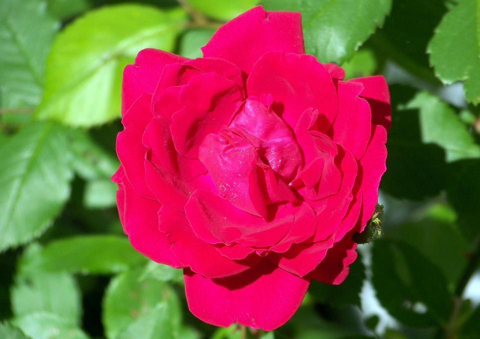 Rose, Bloom, Floral, Blossom, Romantic, Garden, Love
