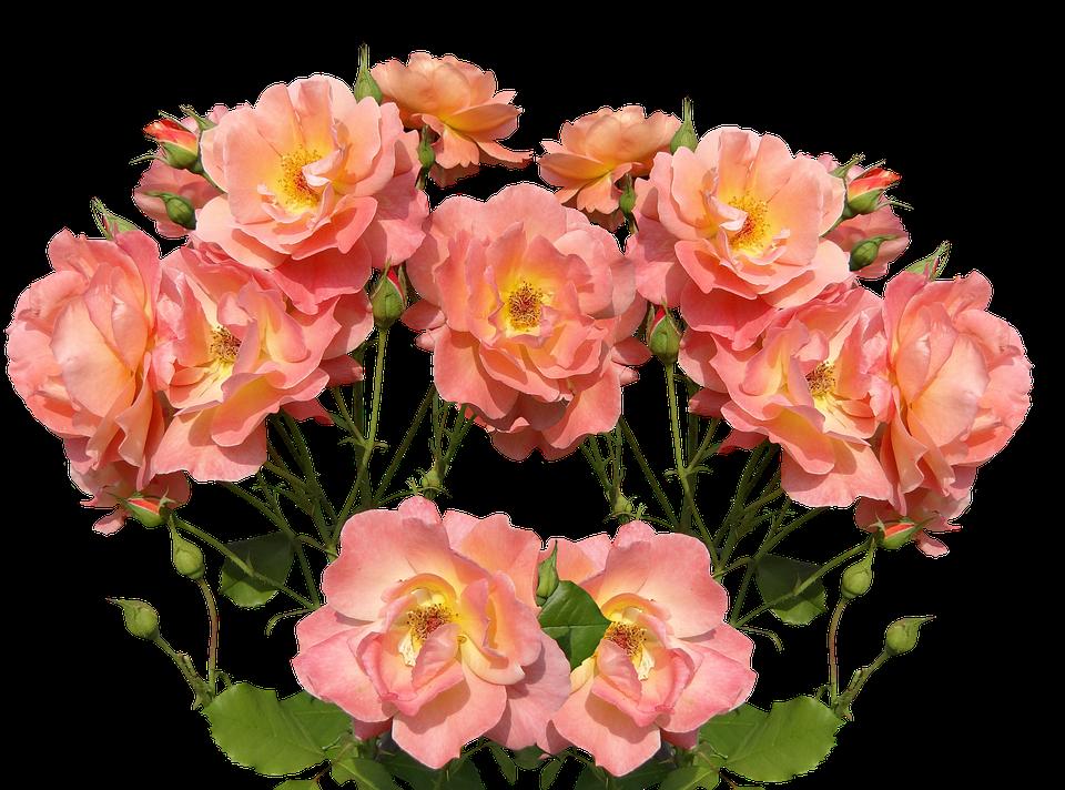 Roses, Love, Valentine's Day, Rose Bloom, Garden
