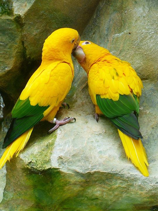 Image of: Se Beijando Gold Parakeets Kiss Love Bird Couple Couple Birds Max Pixel Free Photo Love Gold Parakeets Couple Bird Couple Kiss Birds Max Pixel