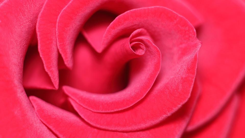 Love, Love Scam, Rose, Attachment