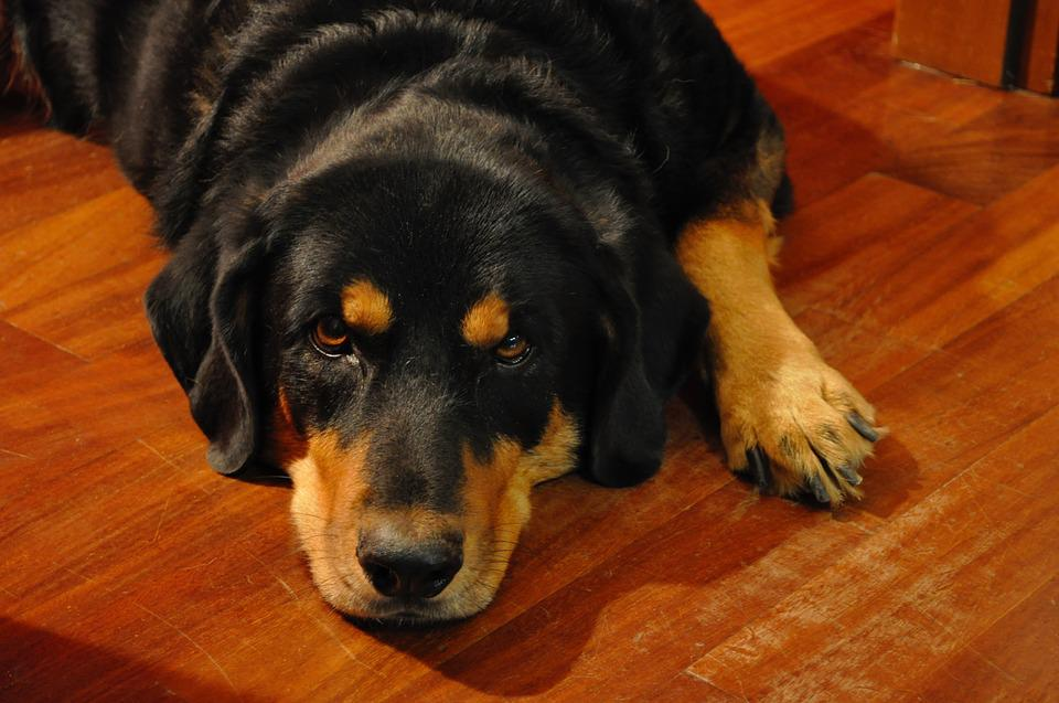 Rottweiler, Pet, Love, Amici, Animal, Muzzle, Animals