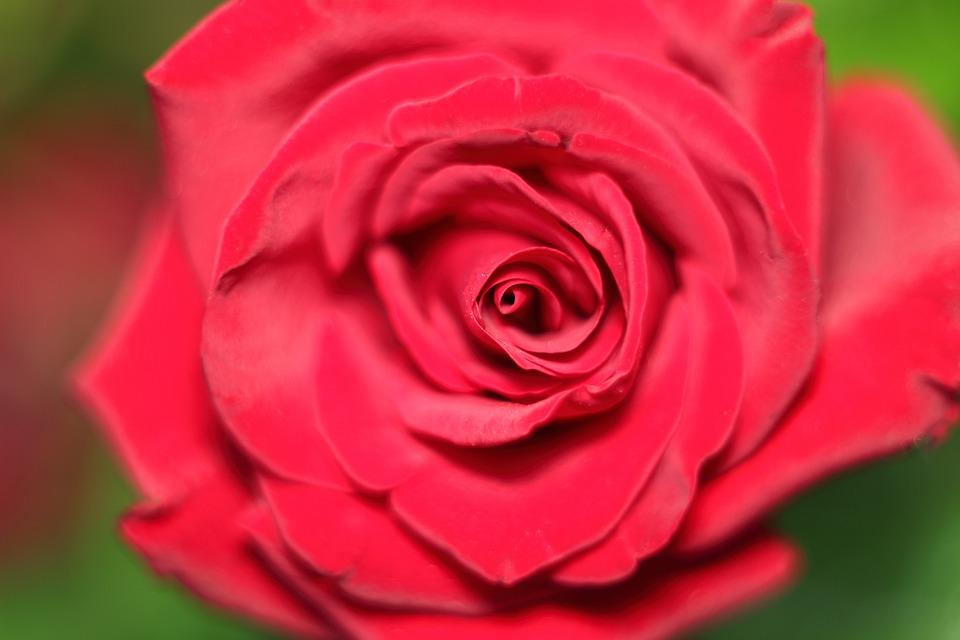 Rose, Flower, Petal, Love Scam, Love