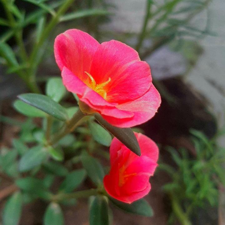 Pink, Flower, Nature, Love, Blossom, Bloom, Plant