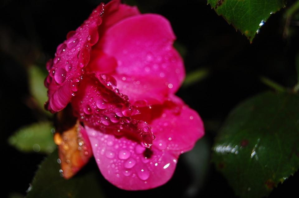 Rose, Depression, Rain, Love, Raindrops, Nature
