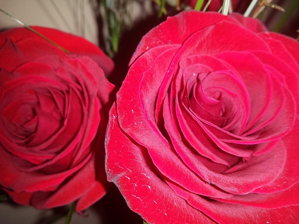 Red Roses, Rose, Red, Love, Flower, Romantic, Romance