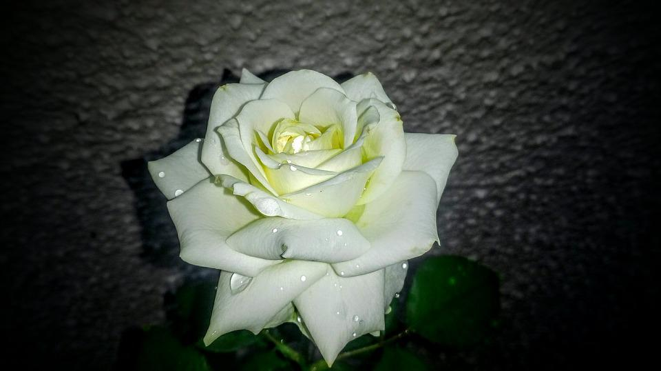 Flower, Petal, Rose, Love, Romance
