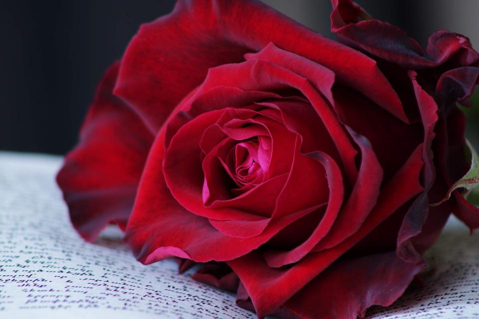 Red Rose, Rose, Flower, Rose Blooms, Roses, Love