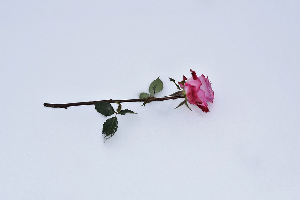 Pink Rose In Snow, Love Symbol, Winter, Snowy, Romantic