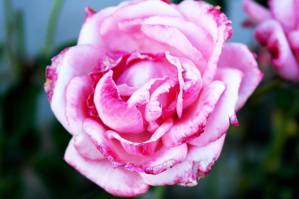 Pink Roses, Love, Passion, Valentine's Day, Flower
