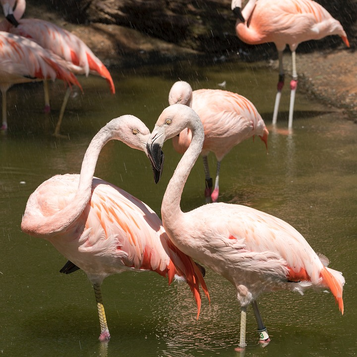 Flamingo, Bird, Animal, Wildlife, Neck, Love, Colorful