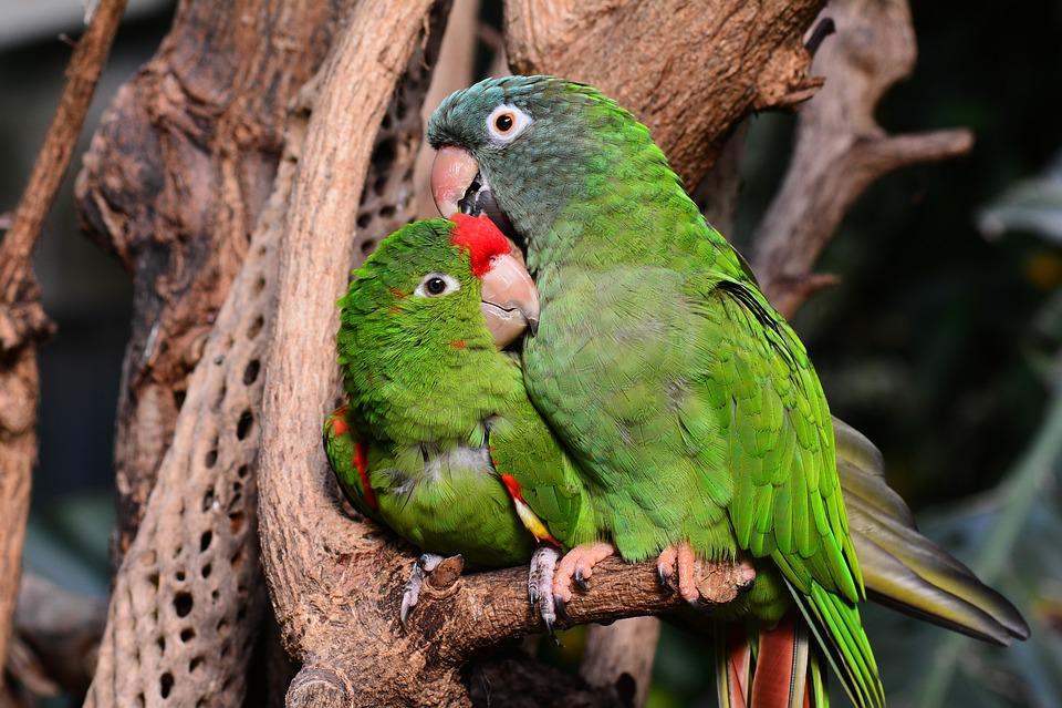 Parrot, Parrots, Green, Lovebirds, Bird, Animal, Beak