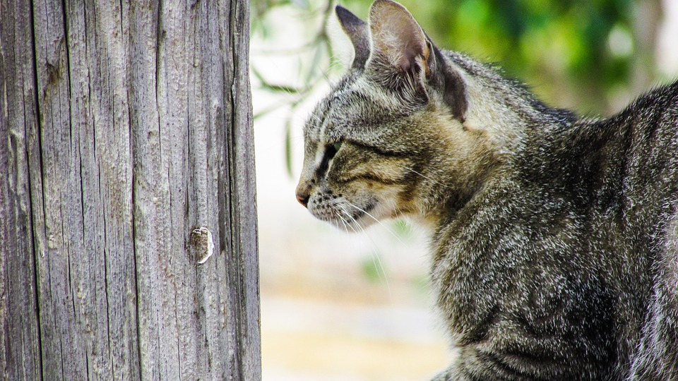 Cat, Stray, Young, Lovely, Curious, Grey, Cyprus