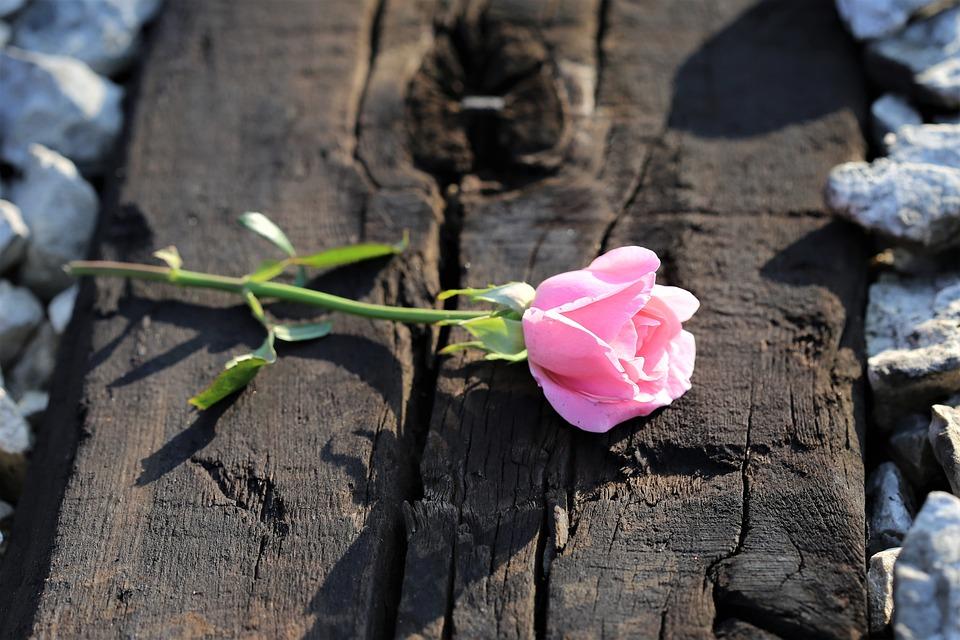 Pink Rose On Railway, Loving Memory, Pink Petals