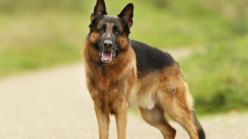 German Shepherd Dog, Friend, Loyalty