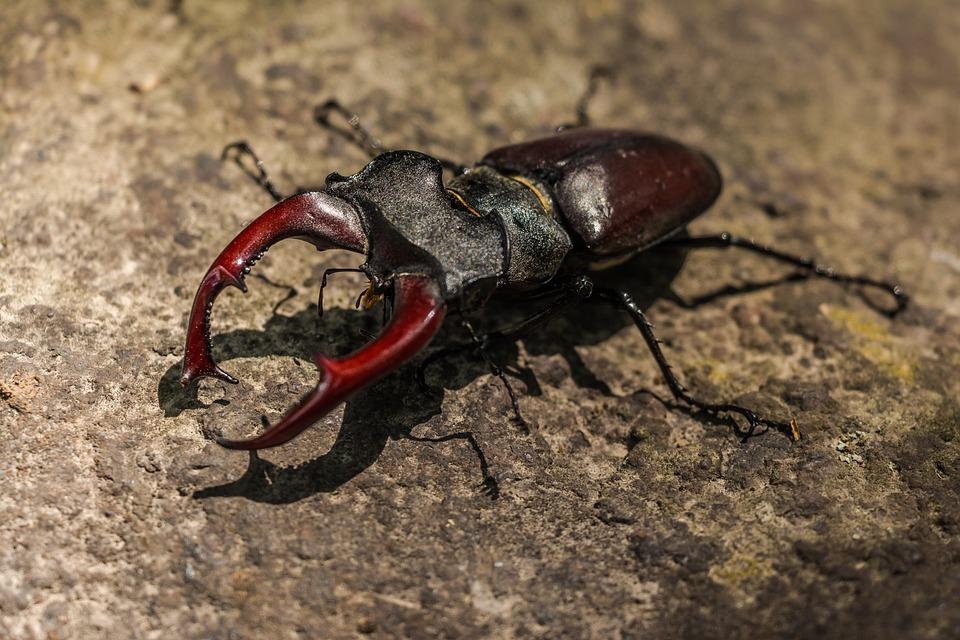 Stag Beetle, Great Stag Beetle, Lucanus Cervus, Beetle