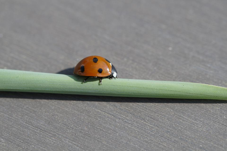 Ladybug, Beetle, Insect, Red, Points, Luck, Lucky Charm