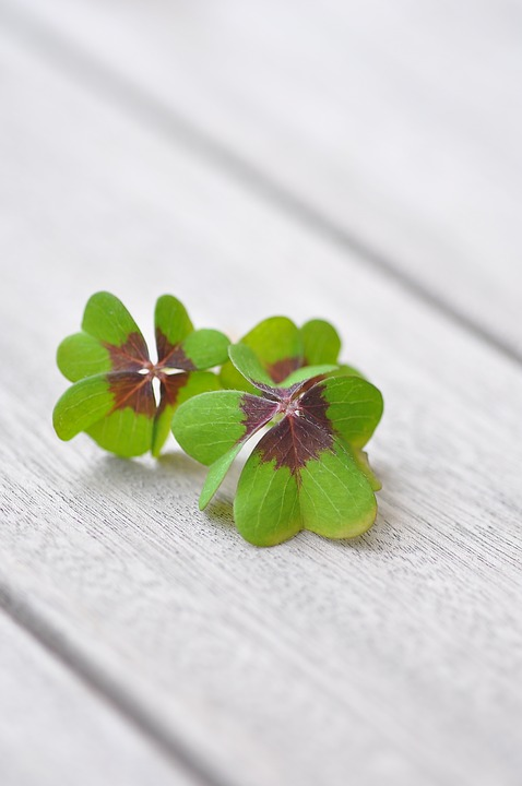Lucky Clover, Klee, Four Leaf Clover, Vierblättrig