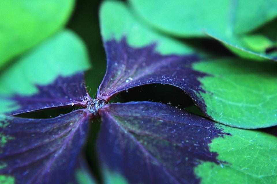 Klee, Lucky Cloverluck, Leaf, Green, Vegetable