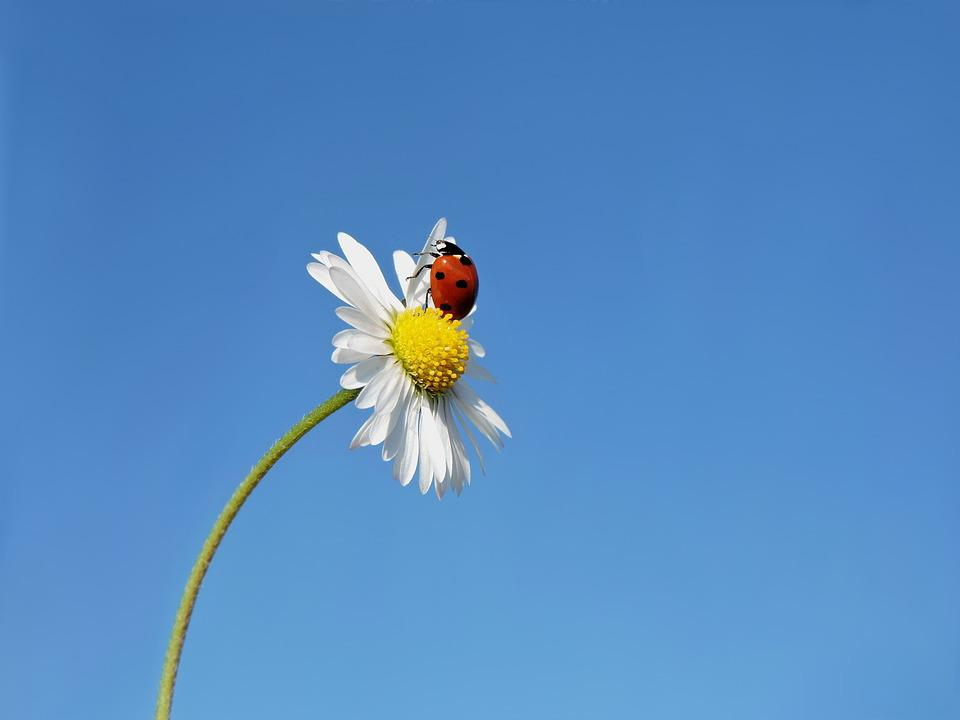 Ladybug, Seven-spot Ladybird, Lucky Ladybug