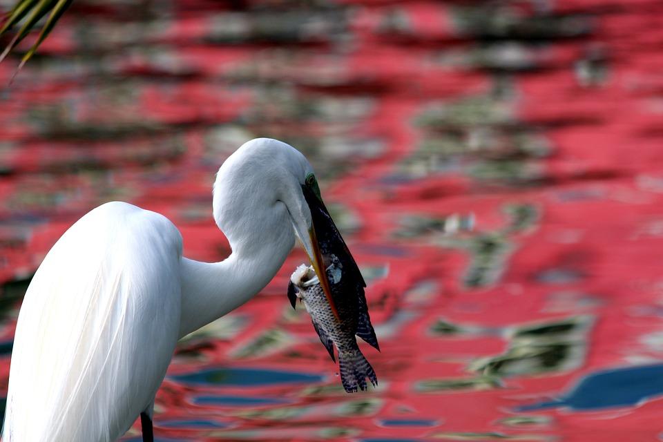 Egret, Ardea Alba, Heron, Long-legged, Bird, Lunch