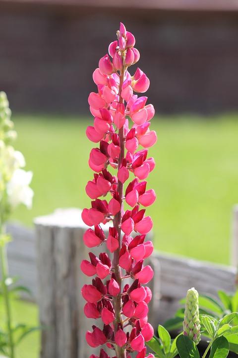 Lupine, Lupinus, Flower, Lupines, Plant, Pink, Red
