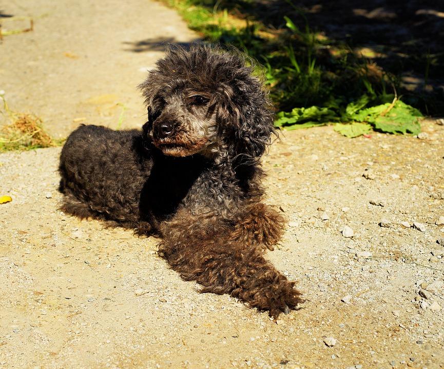Dog, Poodle, Miniature Poodle, Sweet, Cute, Fur, Lure