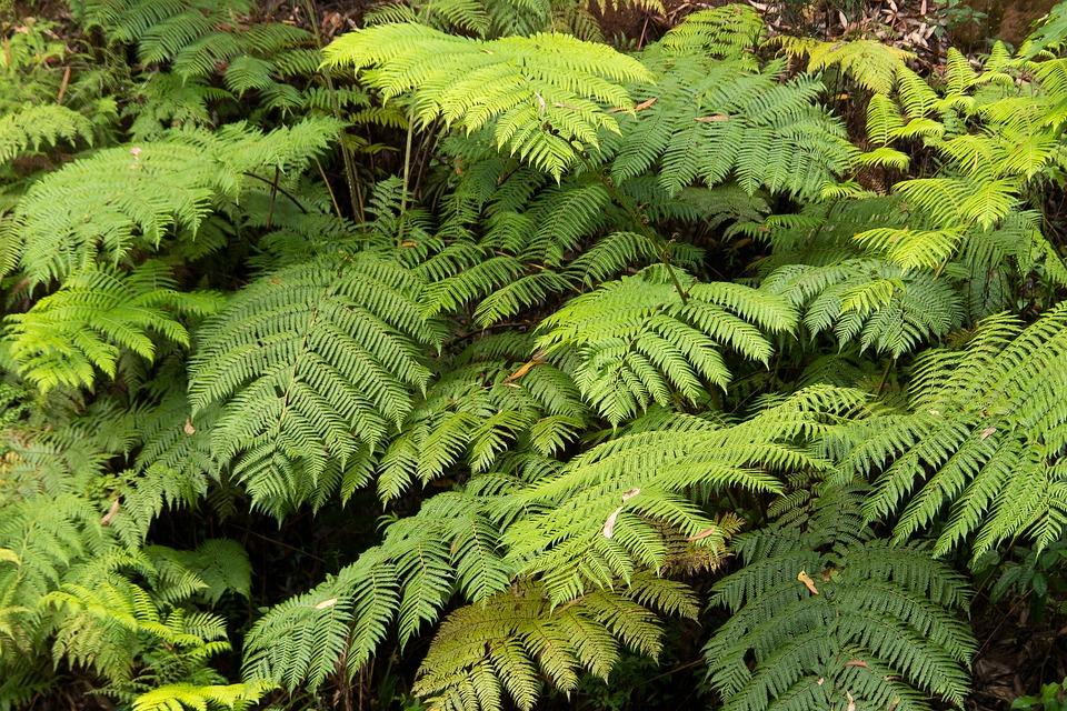 Ferns, Fronds, Green, Foliage, Rainforest, Lush