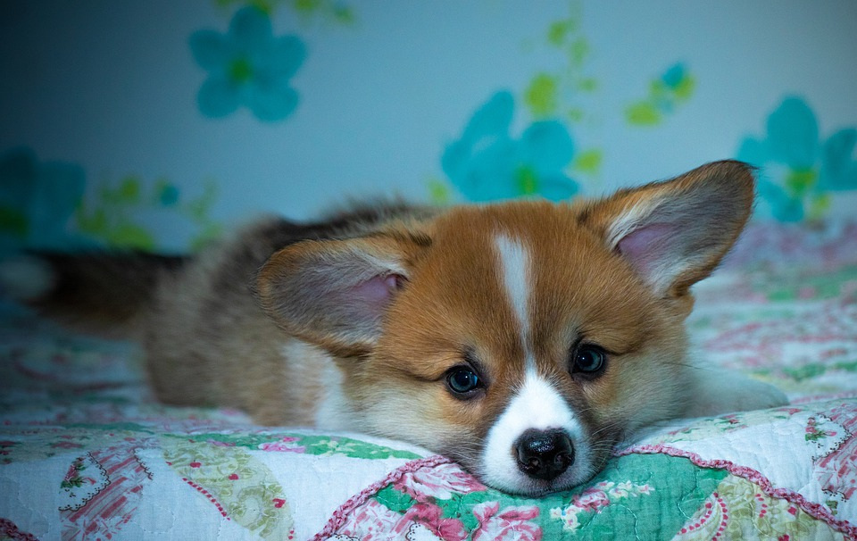 Corgi, Ears, Sleepy, Lying, Looking, Dog, Pet, Animal