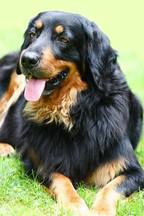 Dog, Hovawart, Black-brown, Pet, Purebred Dog, Lying
