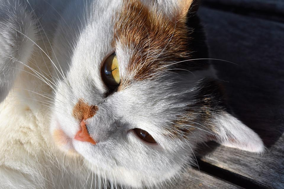 Cat, White, Head, Lying, Domestic Cat, Cat's Eyes