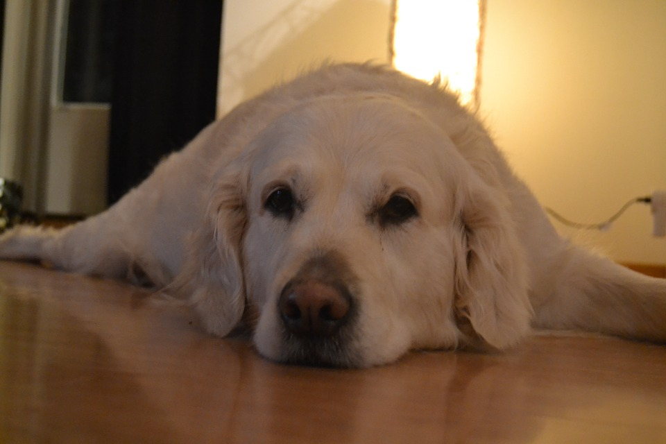 Dog, Lying, Within, Golden Retriever